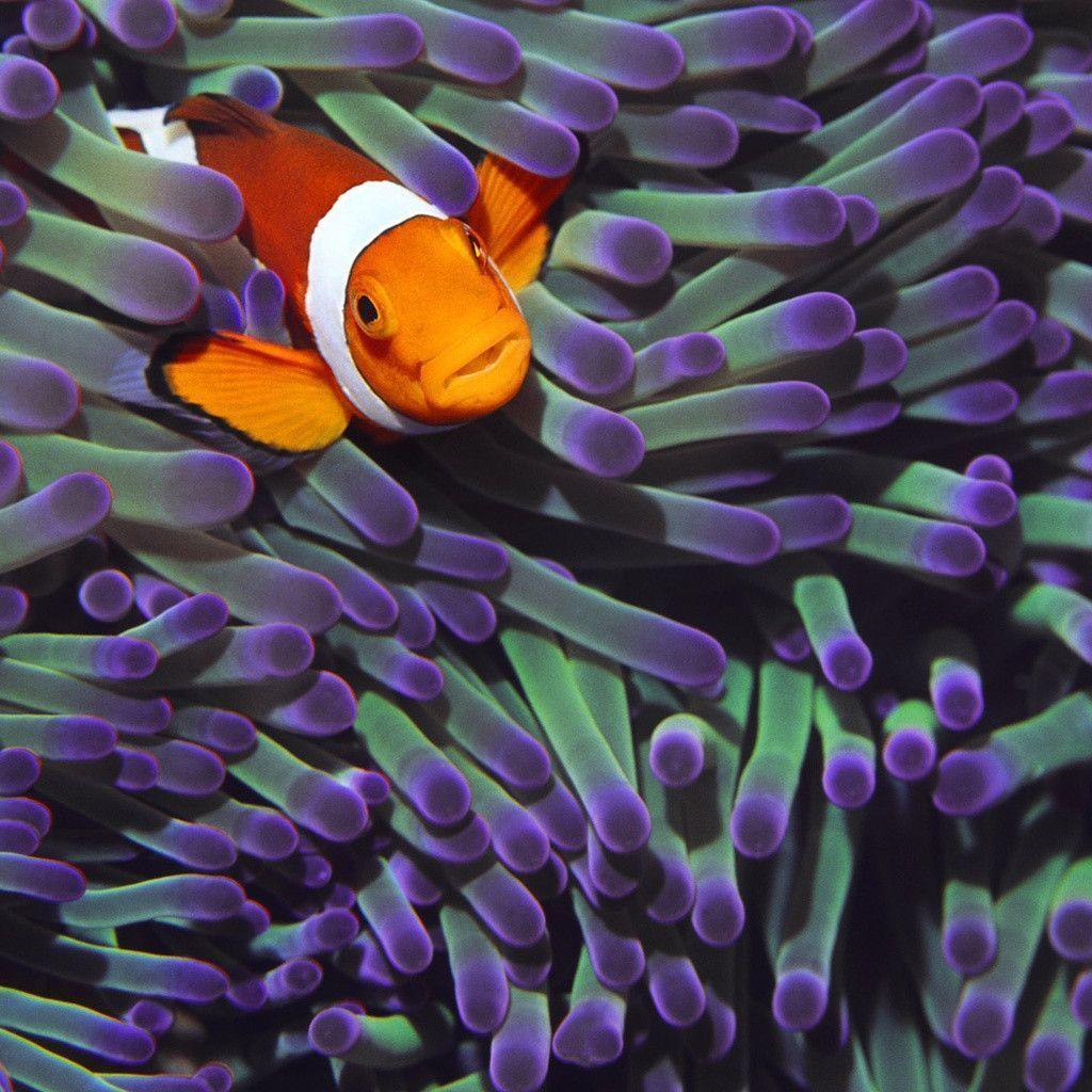 wallpaper clarkii clownfish - photo #27