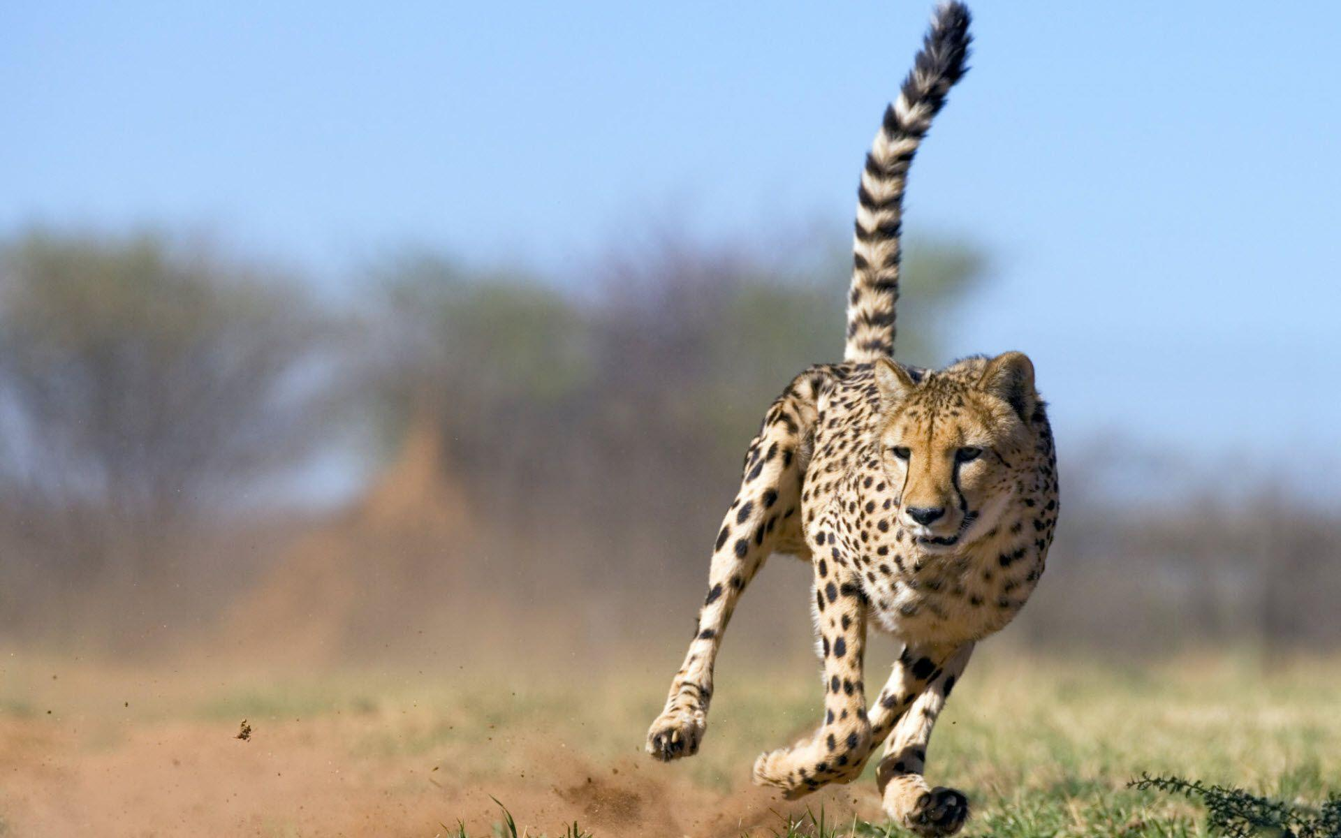 Cheetah Wallpaper for download in laptop and desktop