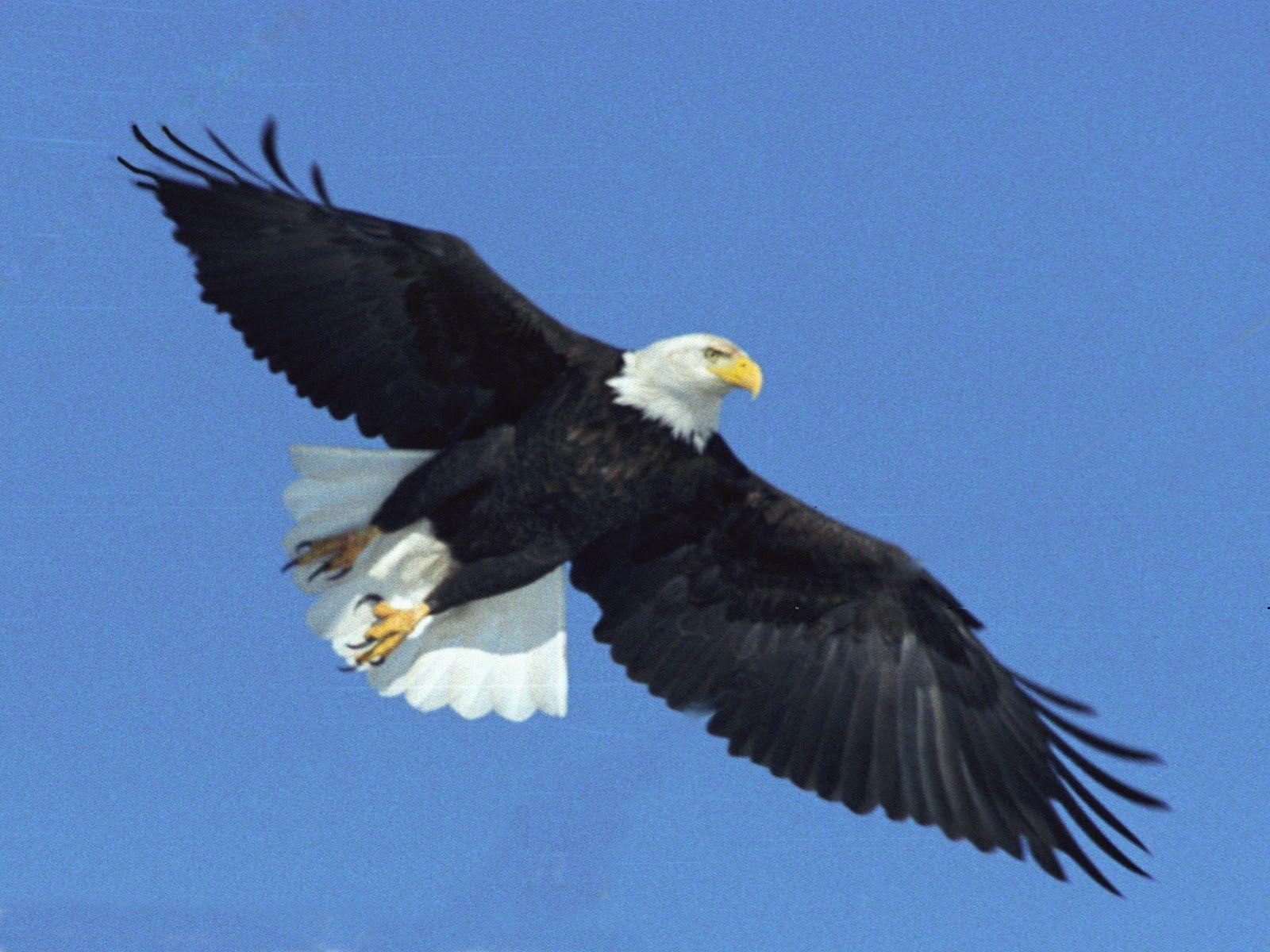 Bald Eagle Free Wallpapers For Android. Eagle, For, Free