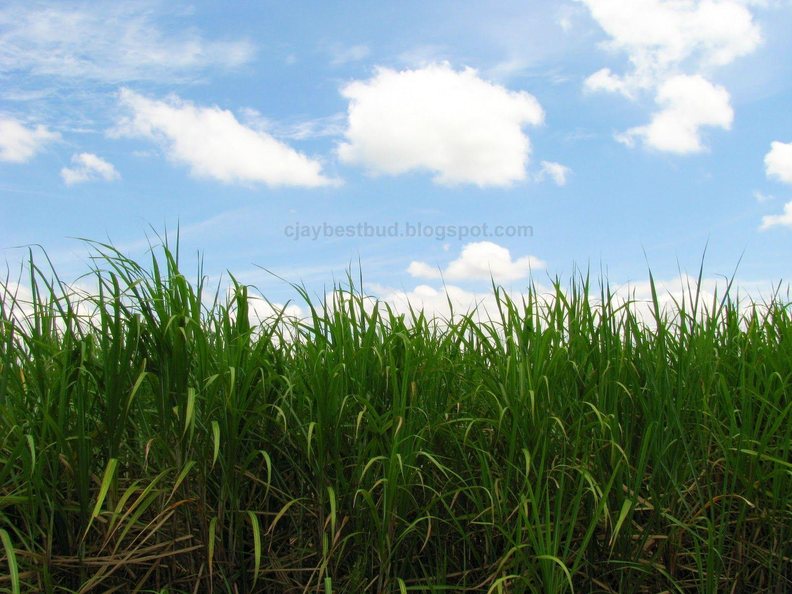 Sugarcane Wallpapers - Wallpaper Cave