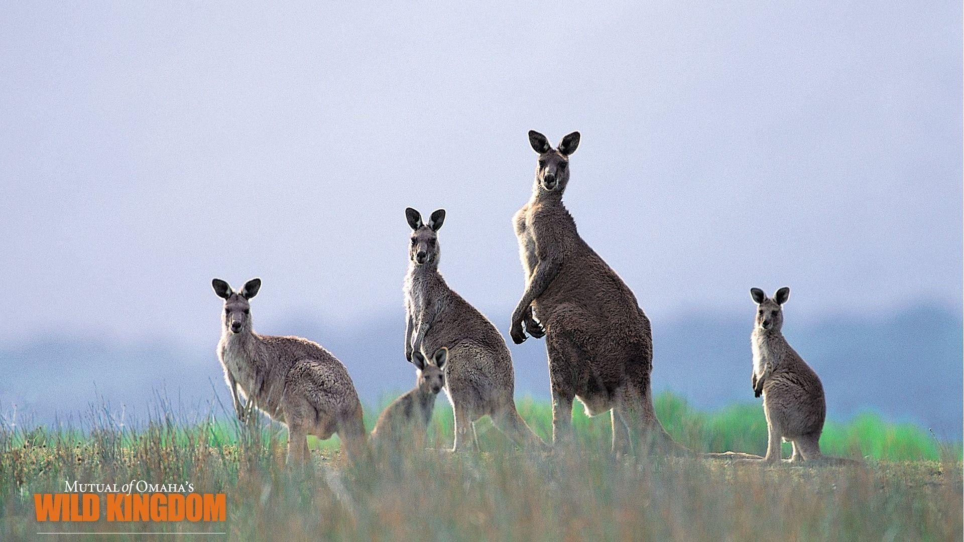 Kangaroo Wallpaper - 1920x1080 wallpaper download -