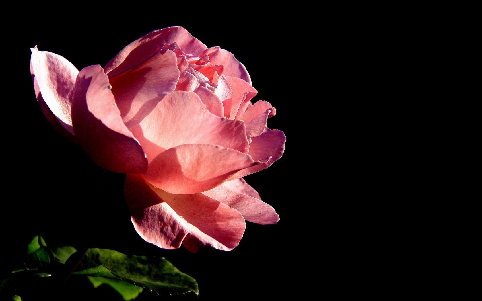 Black roses backgrounds wallpaper cave - Pink rose black background wallpaper ...