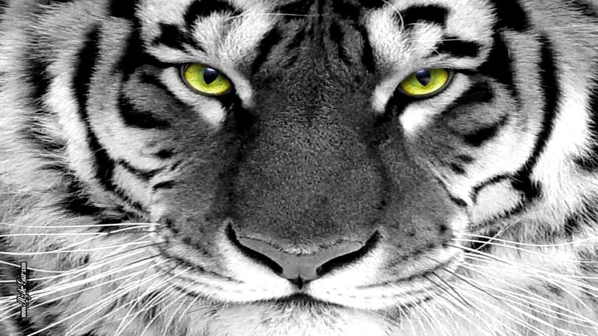 White Tigers With Green Eyes | www.pixshark.com - Images ...