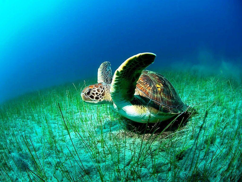 Image For > Sea Turtle Desktop Wallpapers
