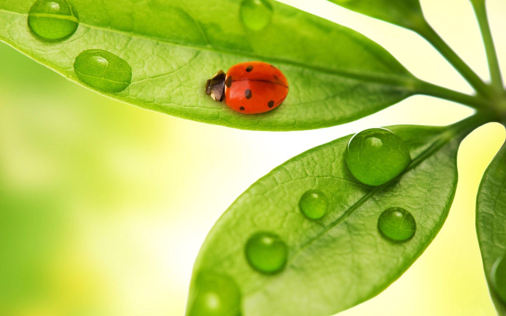 <b>Ladybug</b> on a leaf <b>wallpapers</b> | <b>Ladybug</b> on a leaf stock photos