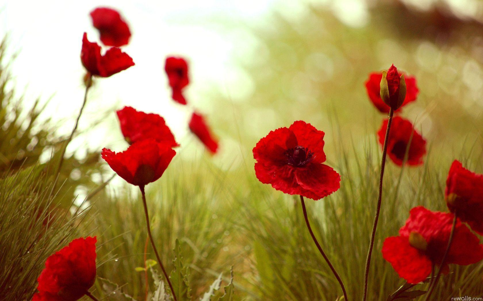poppies wallpapers 22 hd - photo #9