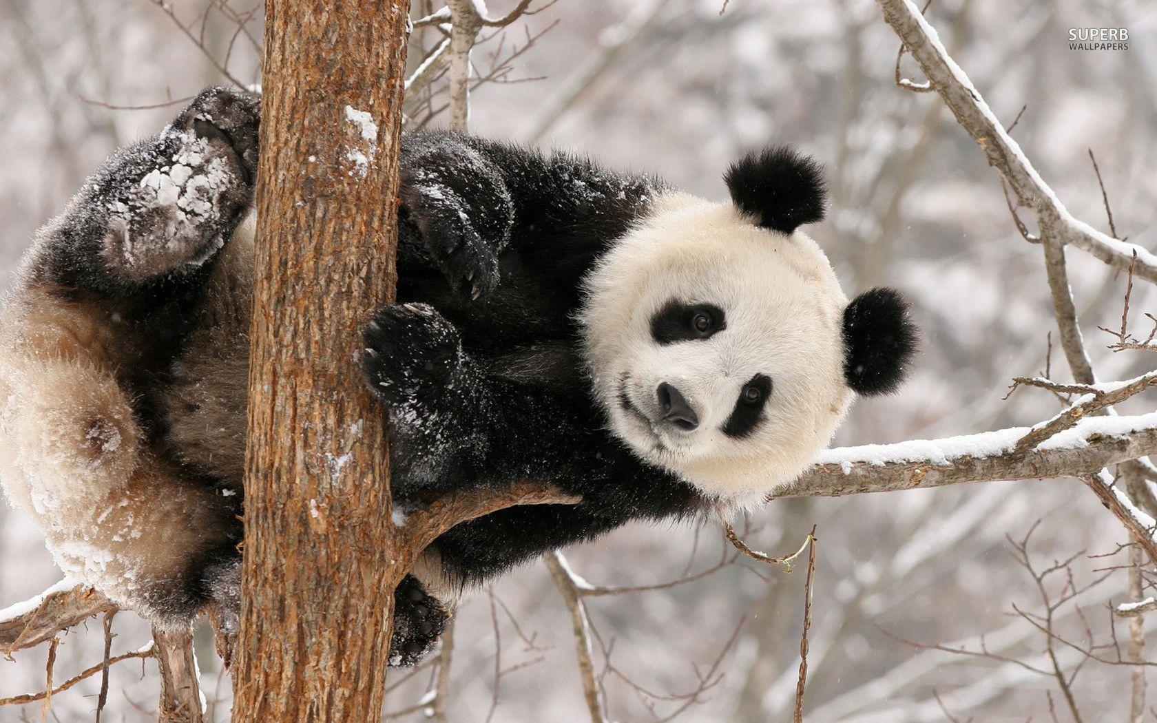 panda bear wallpaper - www.wallpaper-free-download.com