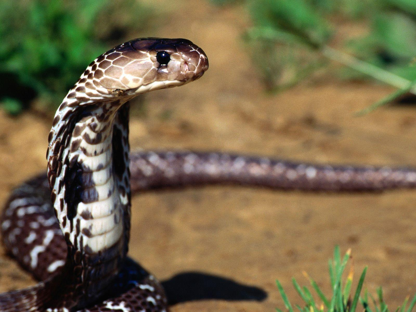 Cobra snake wallpapers | King Cobra Pictures Full Size | Cool ...