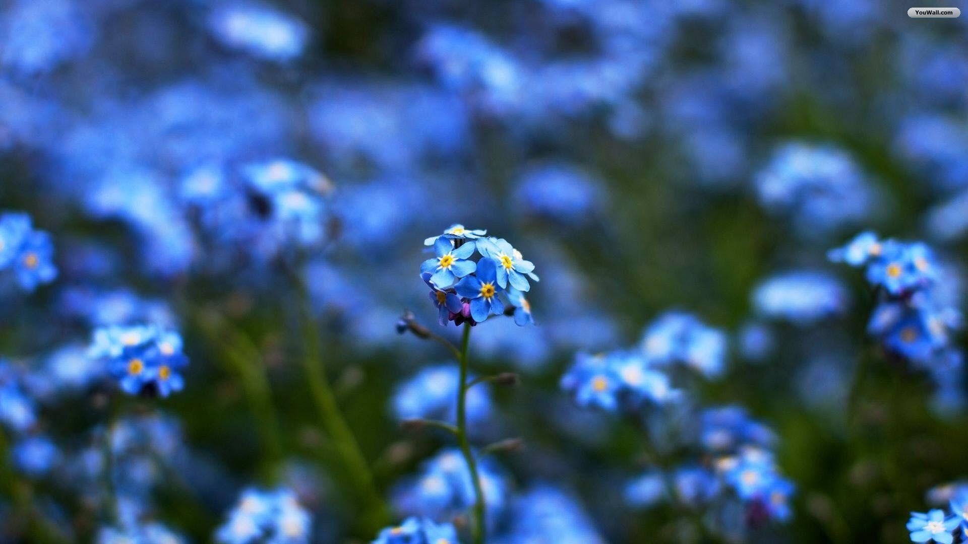 Blue flowers wallpapers wallpaper cave blue flowers pictures widescreen 2 hd wallpaperscom izmirmasajfo
