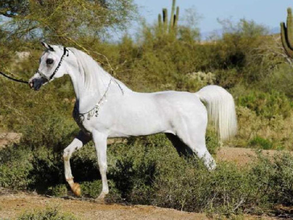 Arabian Horse Wallpapers - Wallpaper Cave  Arabian Horse W...