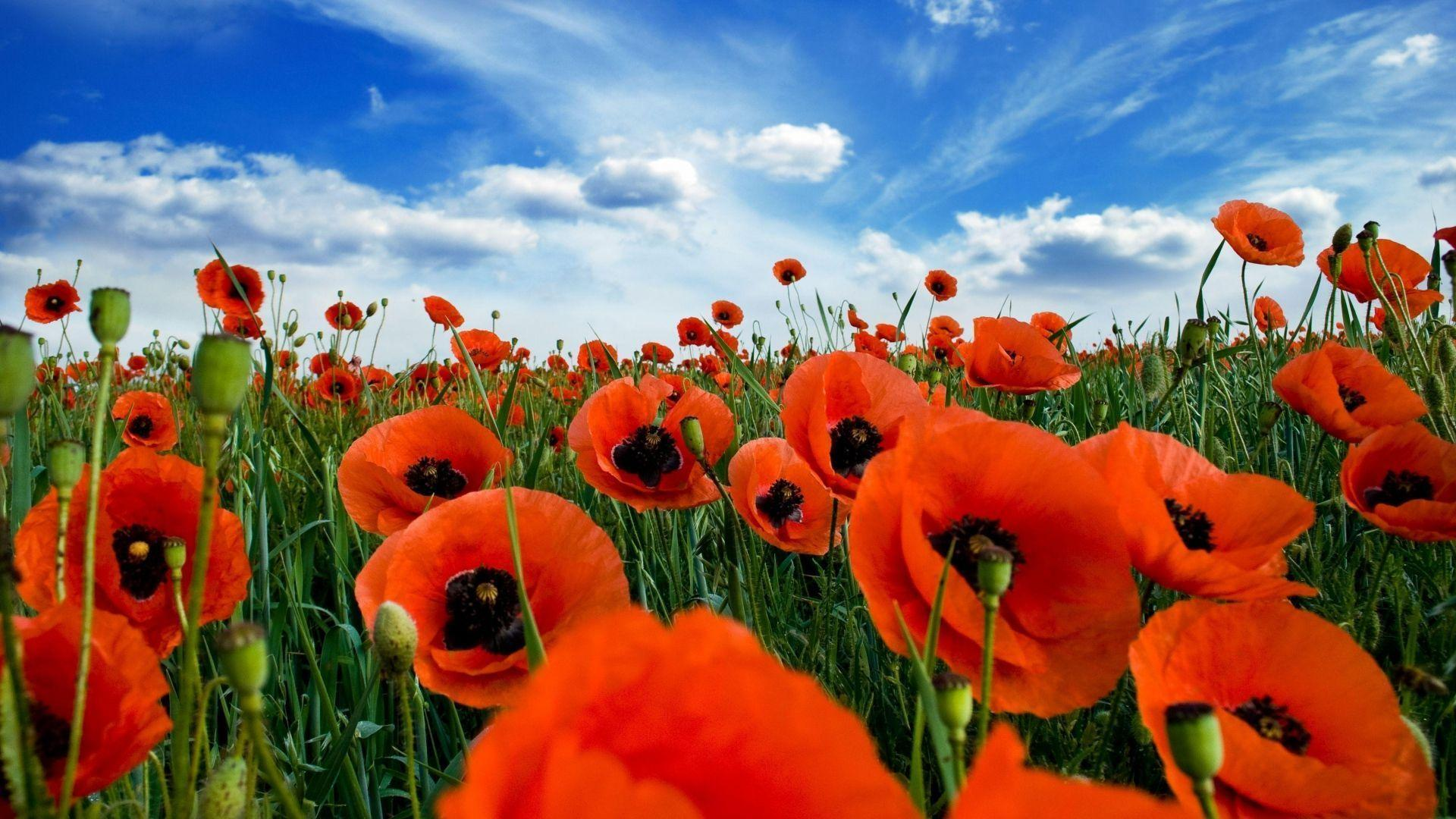 Wallpapers poppies wallpaper cave - Poppy wallpaper ...