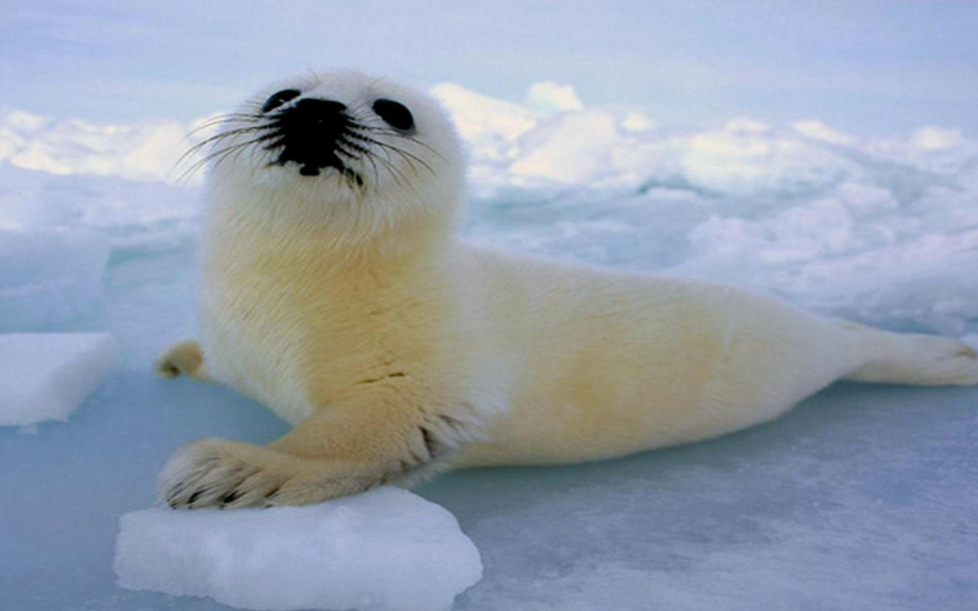 Baby Seal Wallpapers - Wallpaper Cave