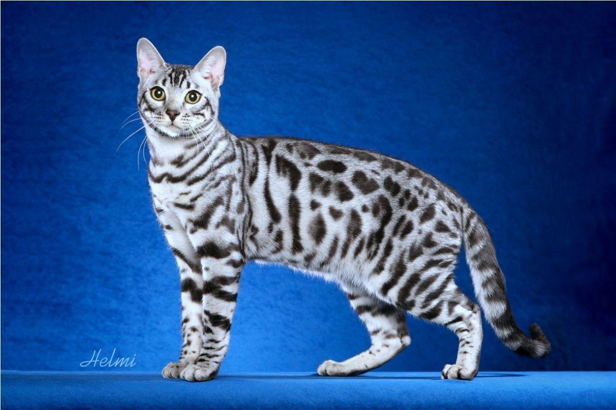 snow white bengal cat