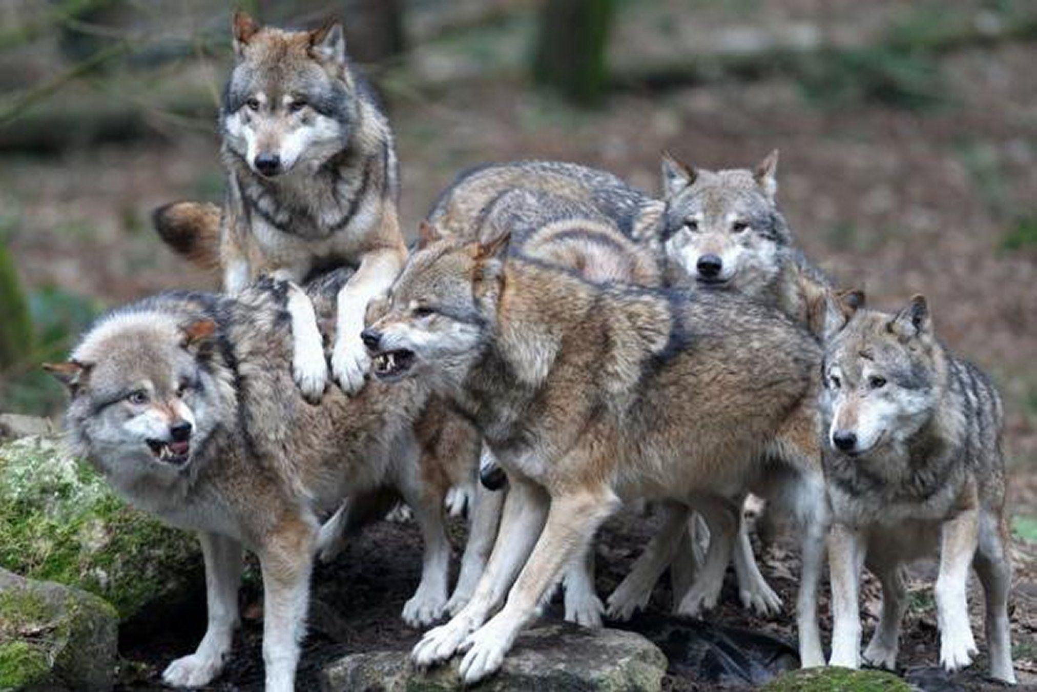Wolf Pack Wallpapers - Wallpaper Cave - photo#5