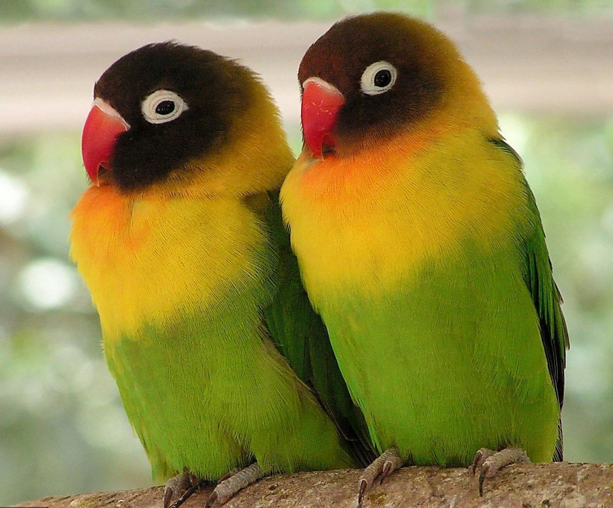 Love Birds couple Wallpaper : Love Bird Wallpapers - Wallpaper cave