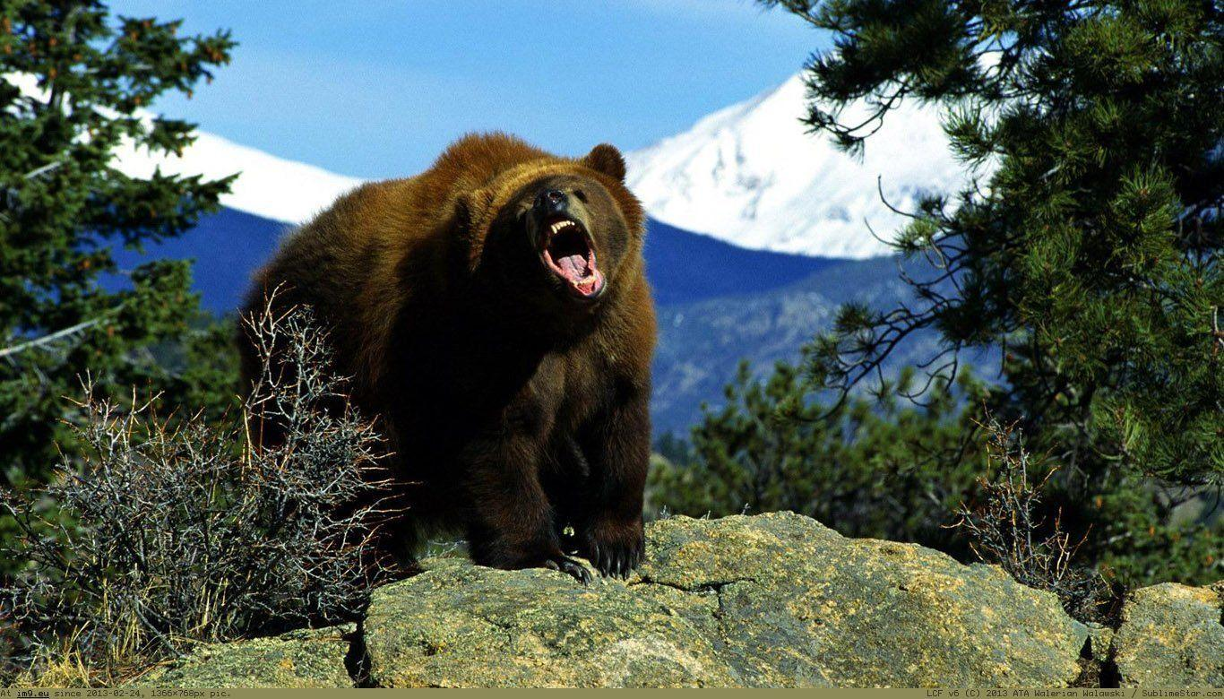 wallpaper title grizzly bear - photo #8