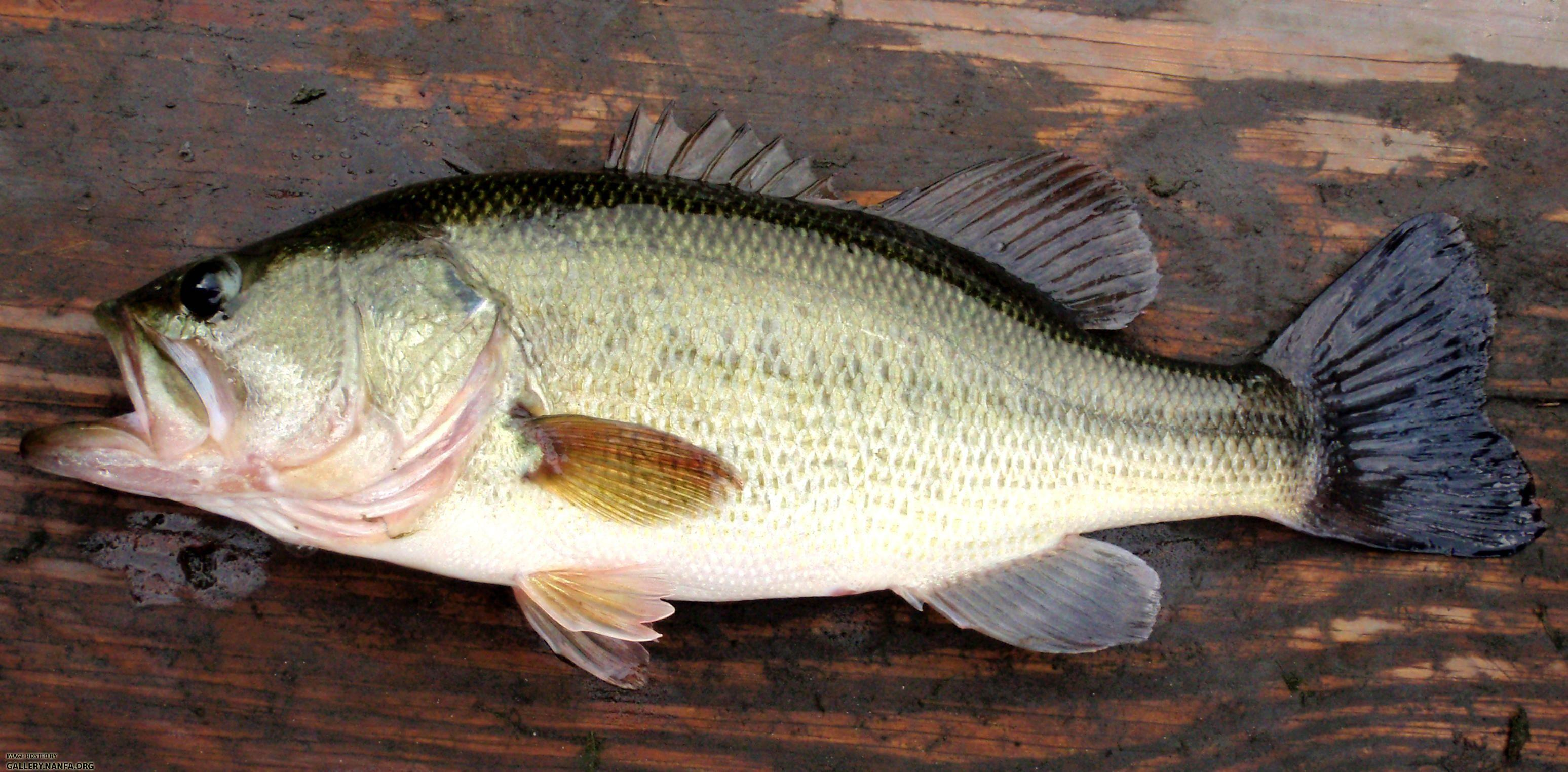 Free largemouth bass wallpapers wallpaper cave for Baby bass fish