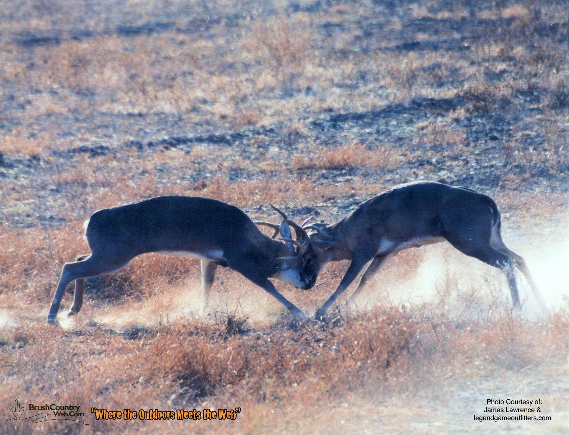 deer wallpaper for my desktop - photo #48