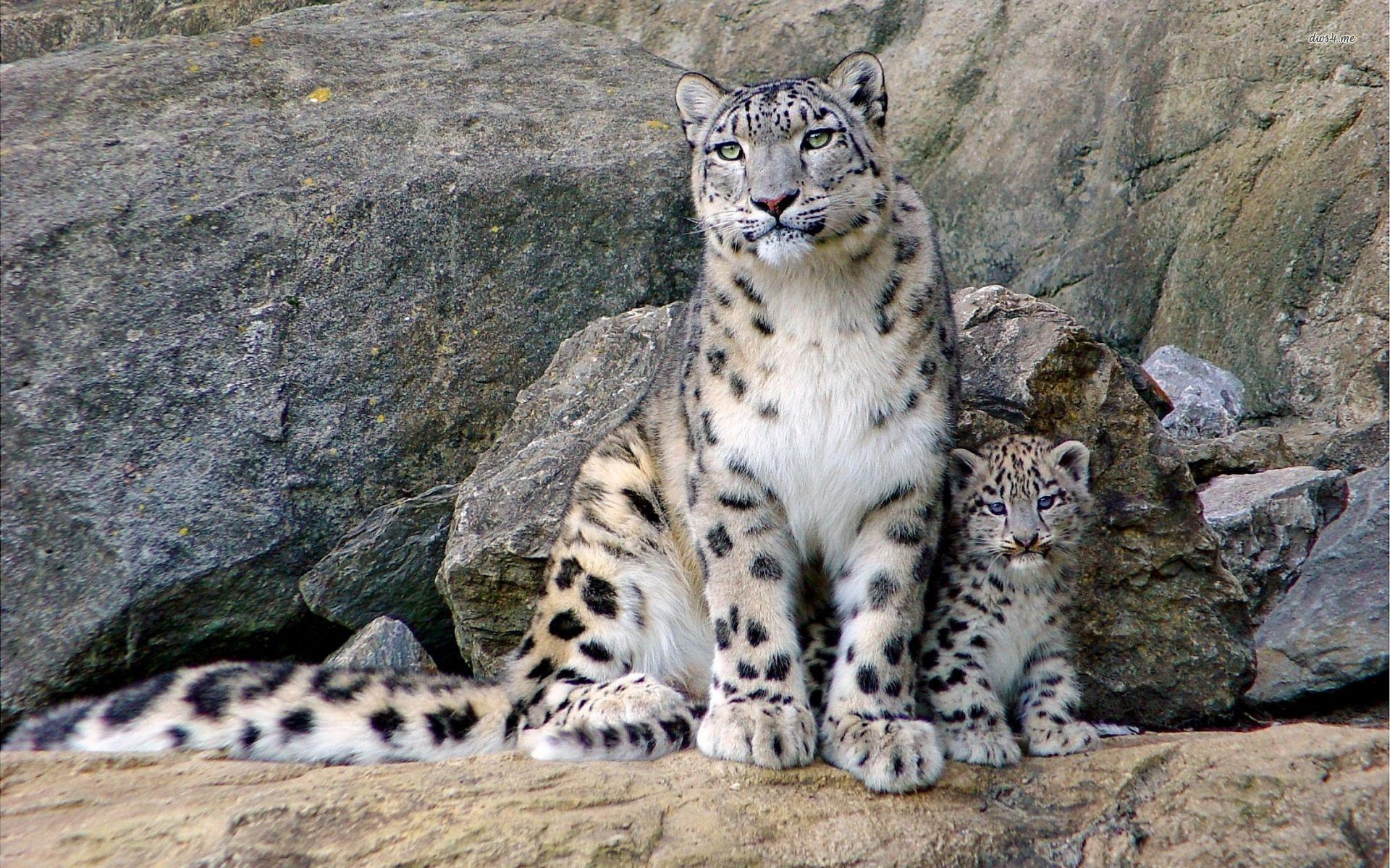 Snow Leopard Wallpapers Wallpaper Cave