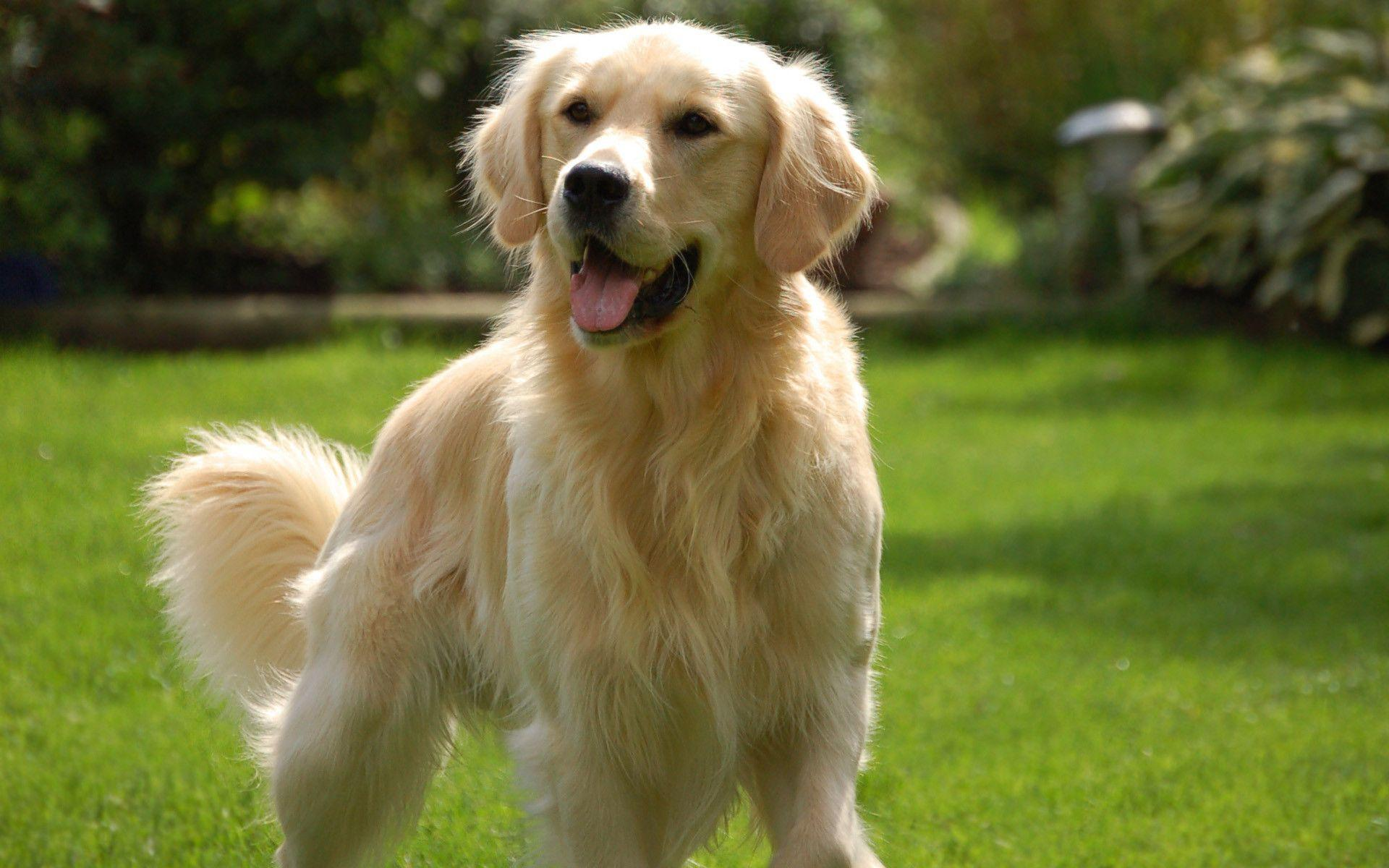 50 Golden Retriever Wallpapers | Golden Retriever Backgrounds