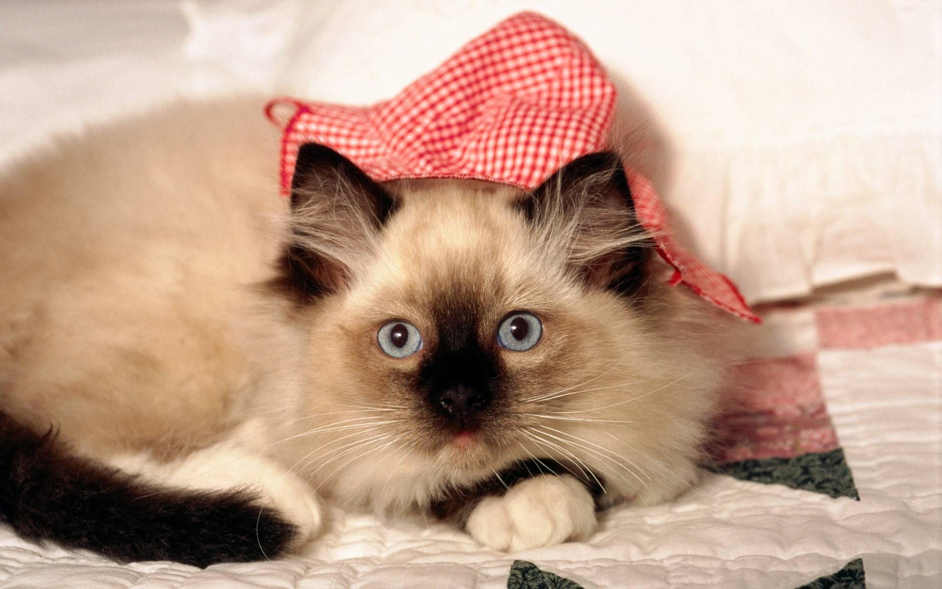 siamese cats wallpaper 3 - photo #13