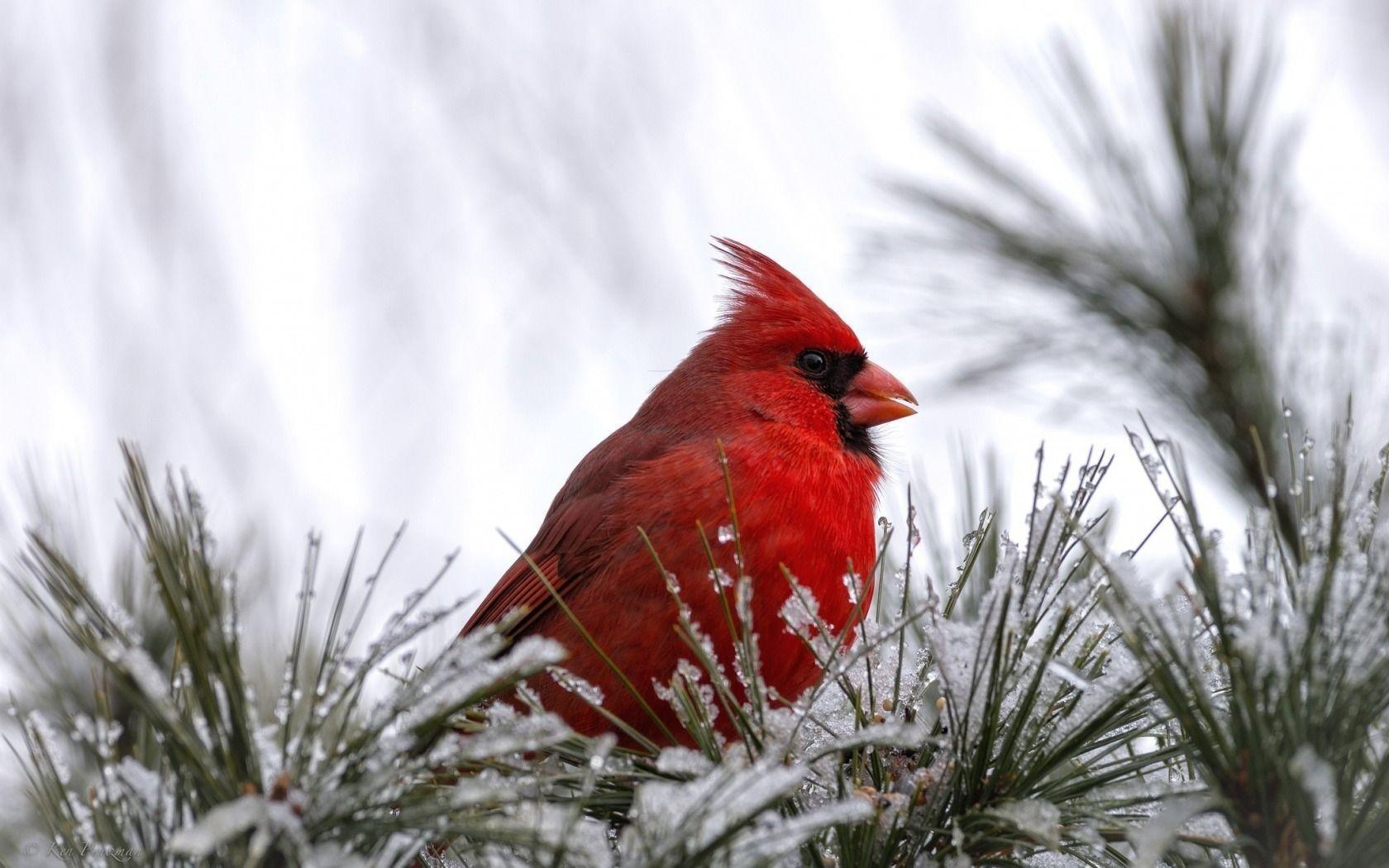 Cardinal bird wallpapers wallpaper cave - Pictures of cardinals in snow ...