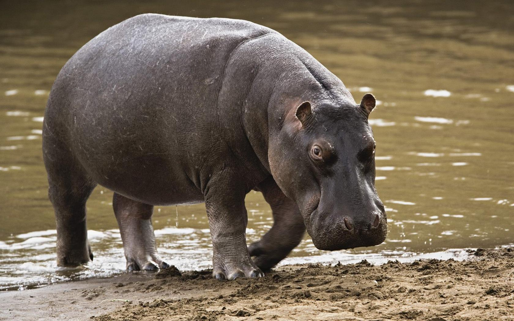 Hippopotamus HD wallpaper - Animal Backgrounds
