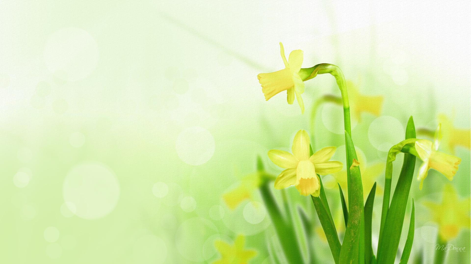 download daffodils 1920x1080 wallpaper - photo #20