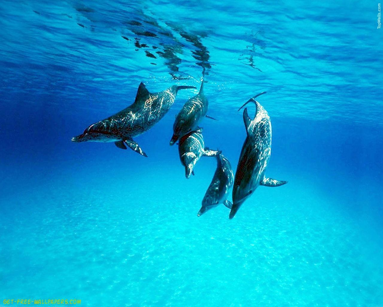 Download Dolphin Wallpaper Full Hd Wallpapers 1280x1024PX ...