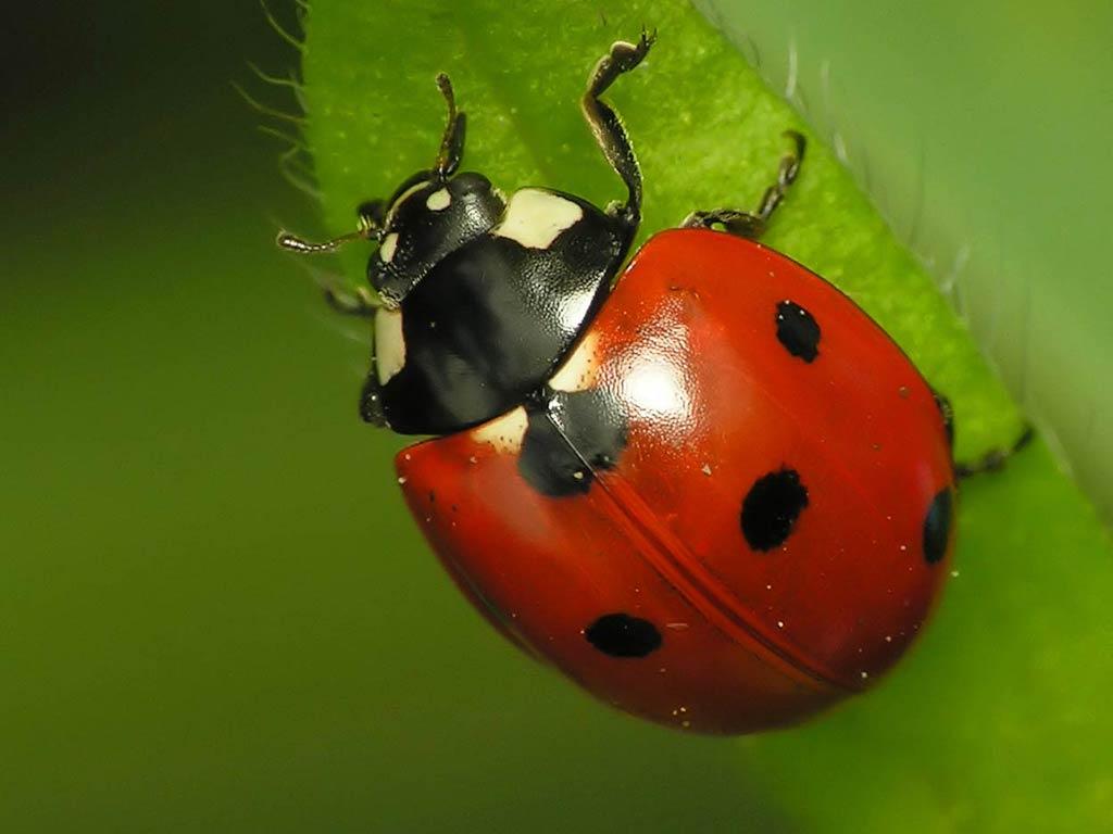 A <b>ladybug</b> on top of a plant - macro <b>HD wallpaper</b>
