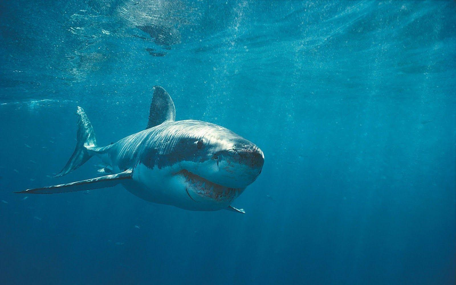 Sharks in the ocean - Barbaras HD Wallpapers