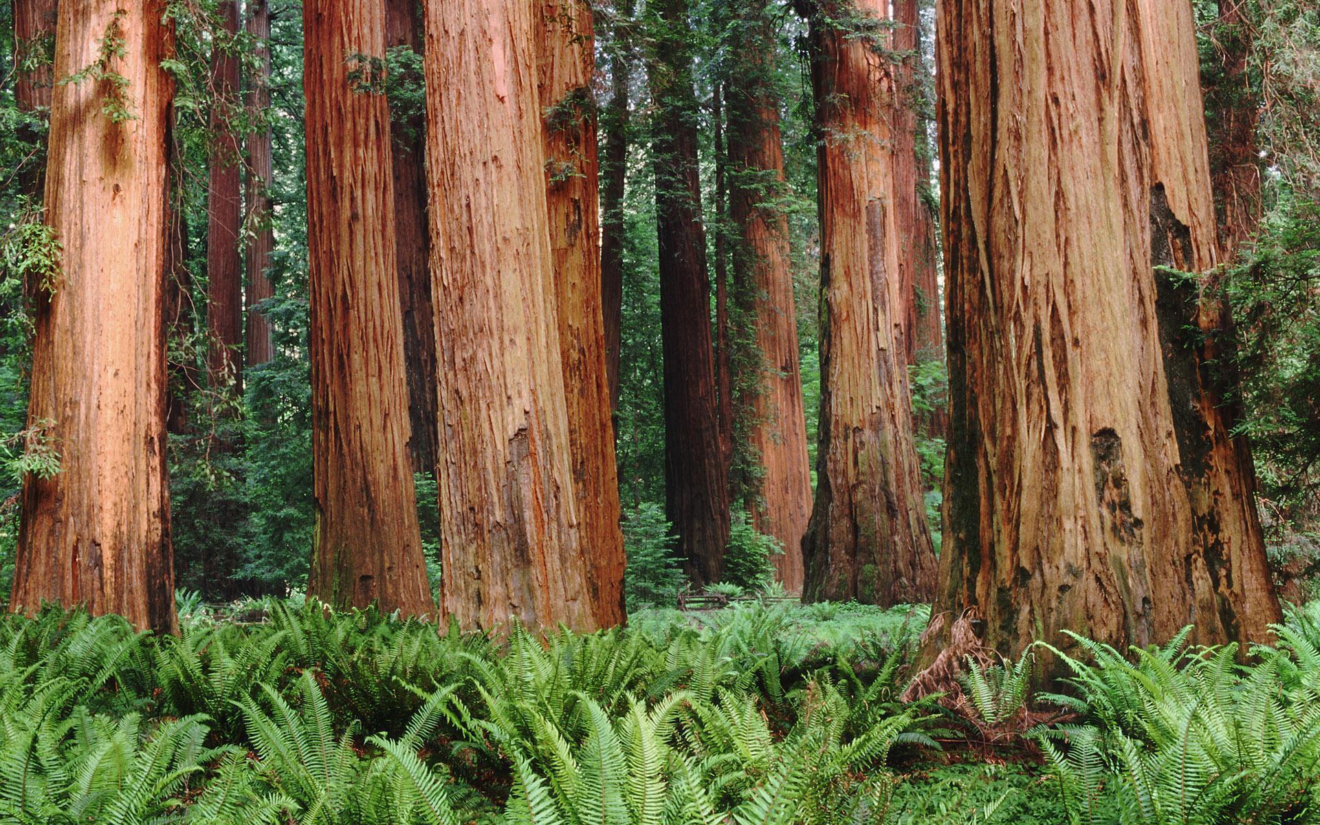 4k wallpaper nature redwoods - photo #11