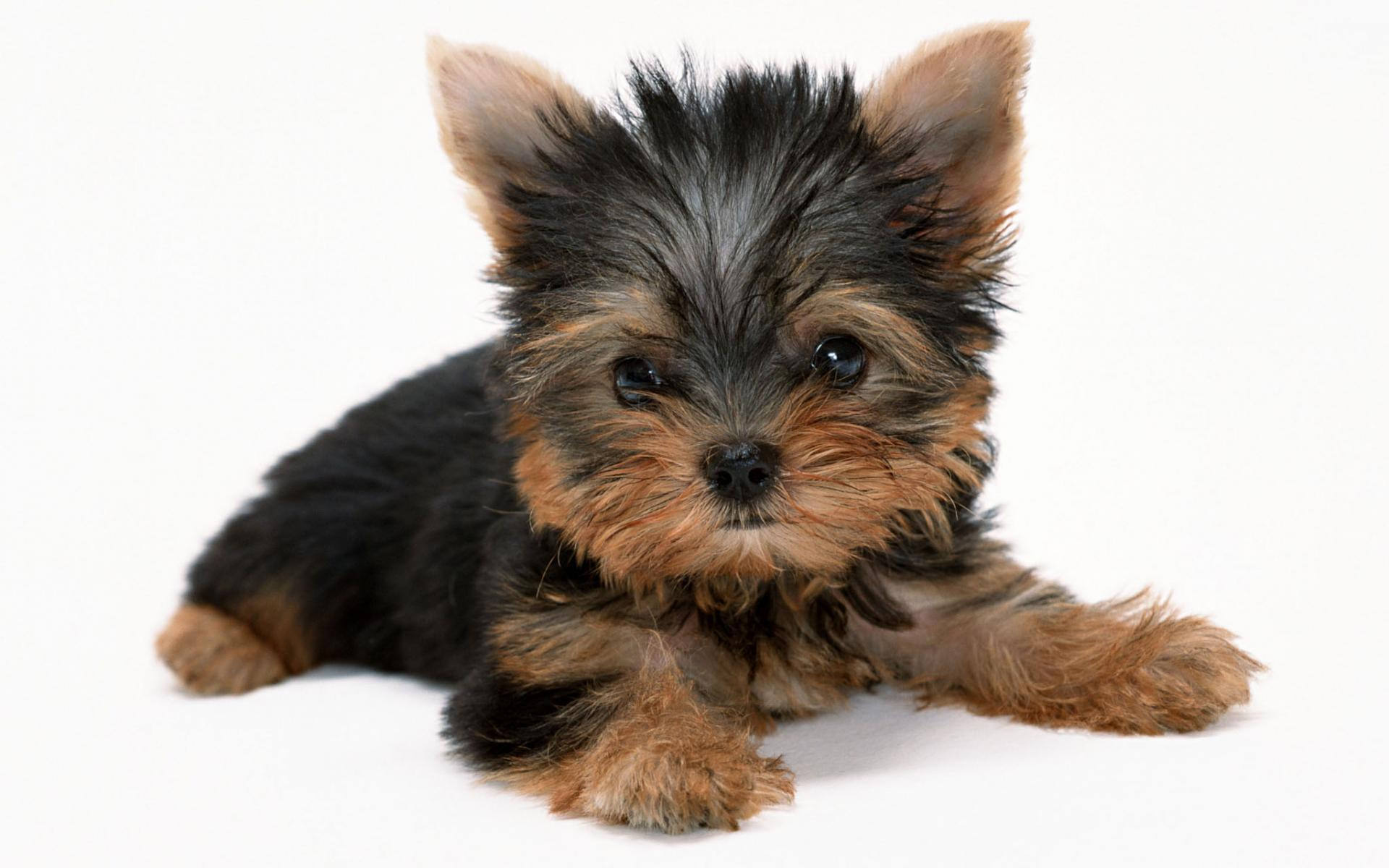 Yorkshire Terrier Dog Wallpaper | Yorkshire Terrier Dog Pictures .