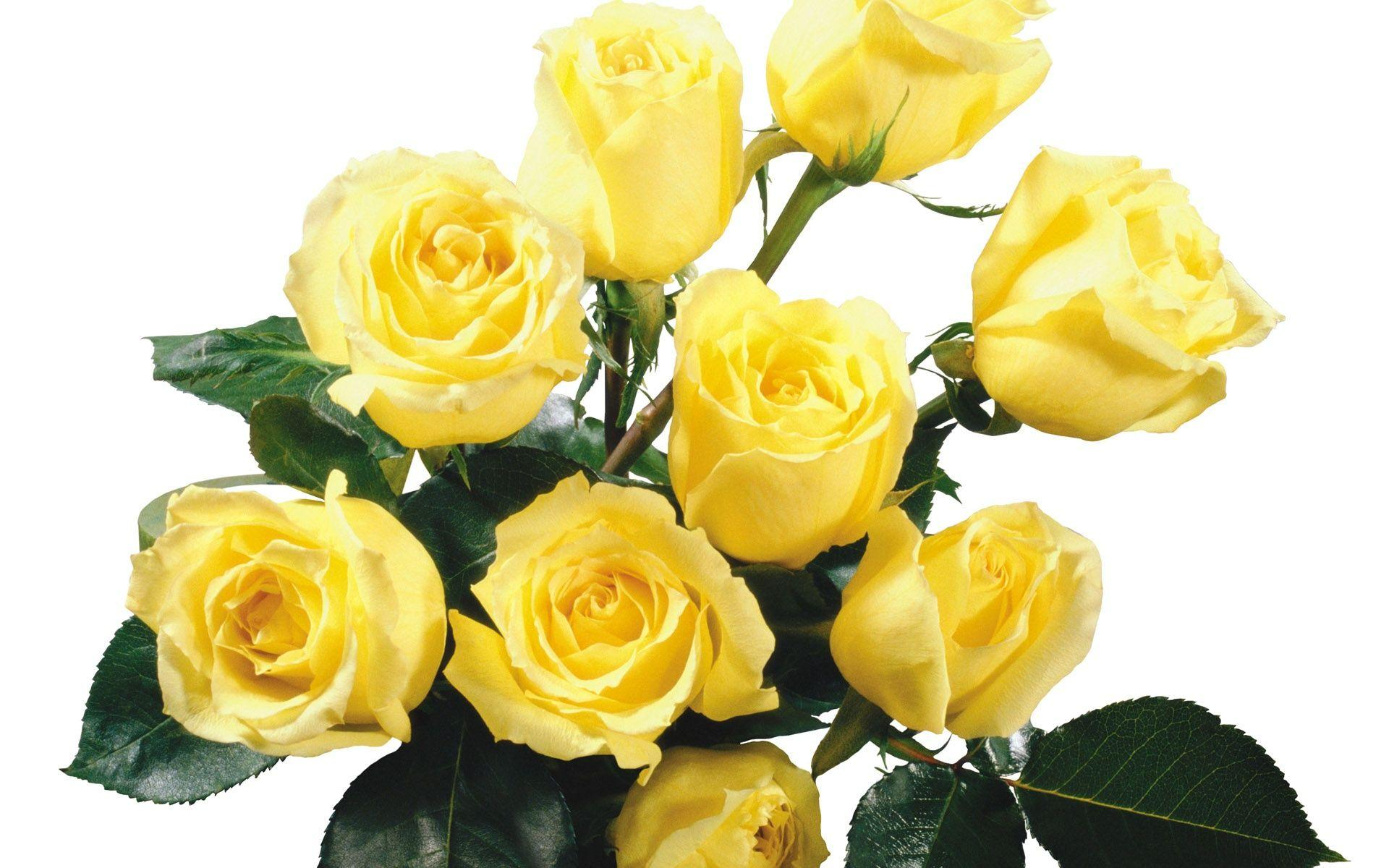 wallpaper of yellow roses - photo #13
