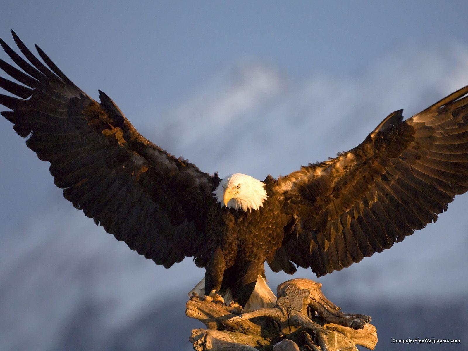 Free Wallpapers Bald Eagle For Android. Eagle, Android, Bald Eagle