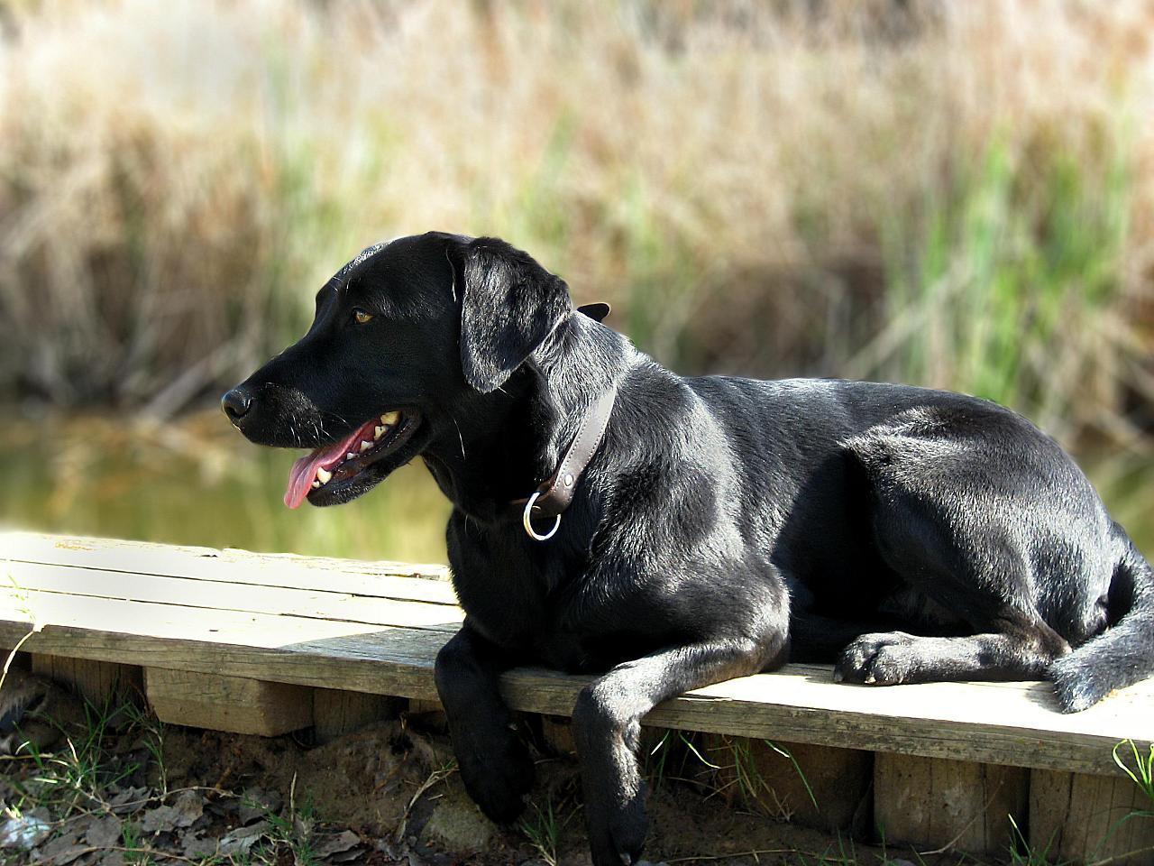 Black Labrador Retriever Puppies For Sale | Brockton, MA #322288