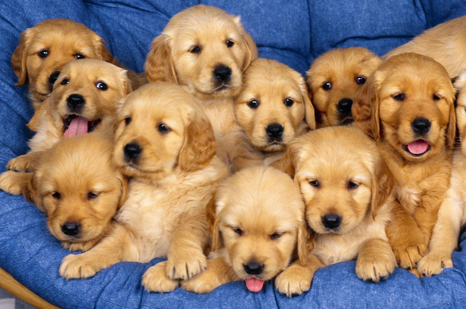Dog Picture Cute Golden Retriever Puppies HD Wallpapers