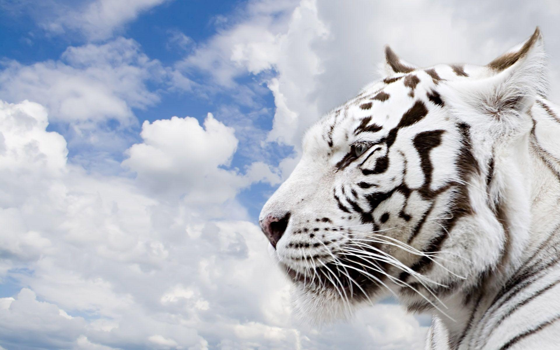 White Tiger Wallpapers Free Download Car Pictures