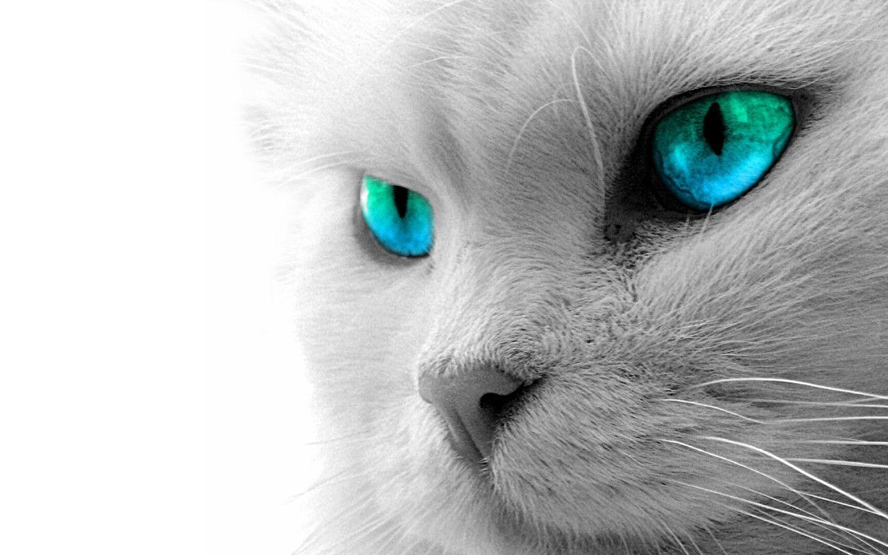 white cat wallpapers - wallpaper cave