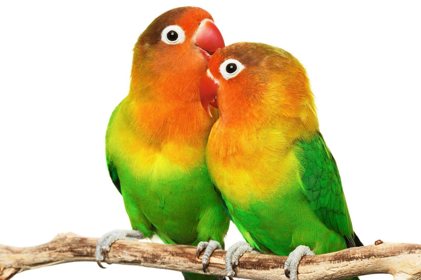 Love Bird Wallpapers