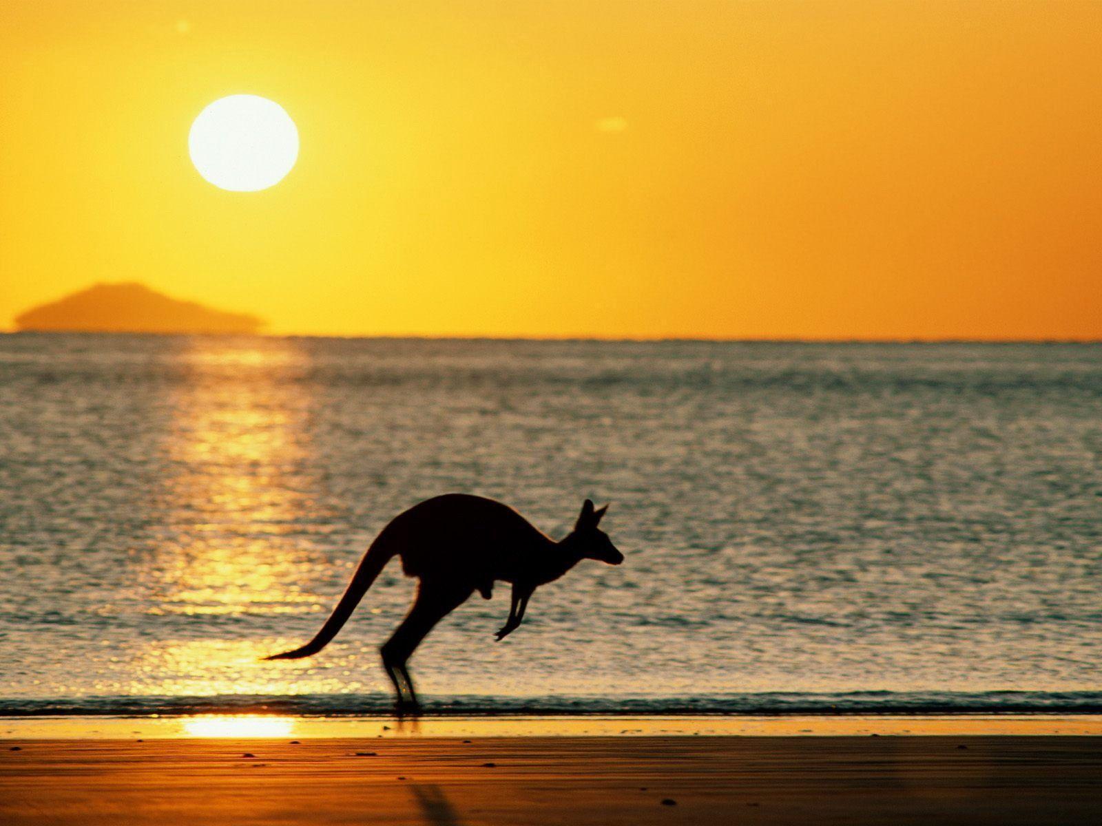 Download Kangaroo Wallpaper 1600x1200 | Full HD Wallpapers