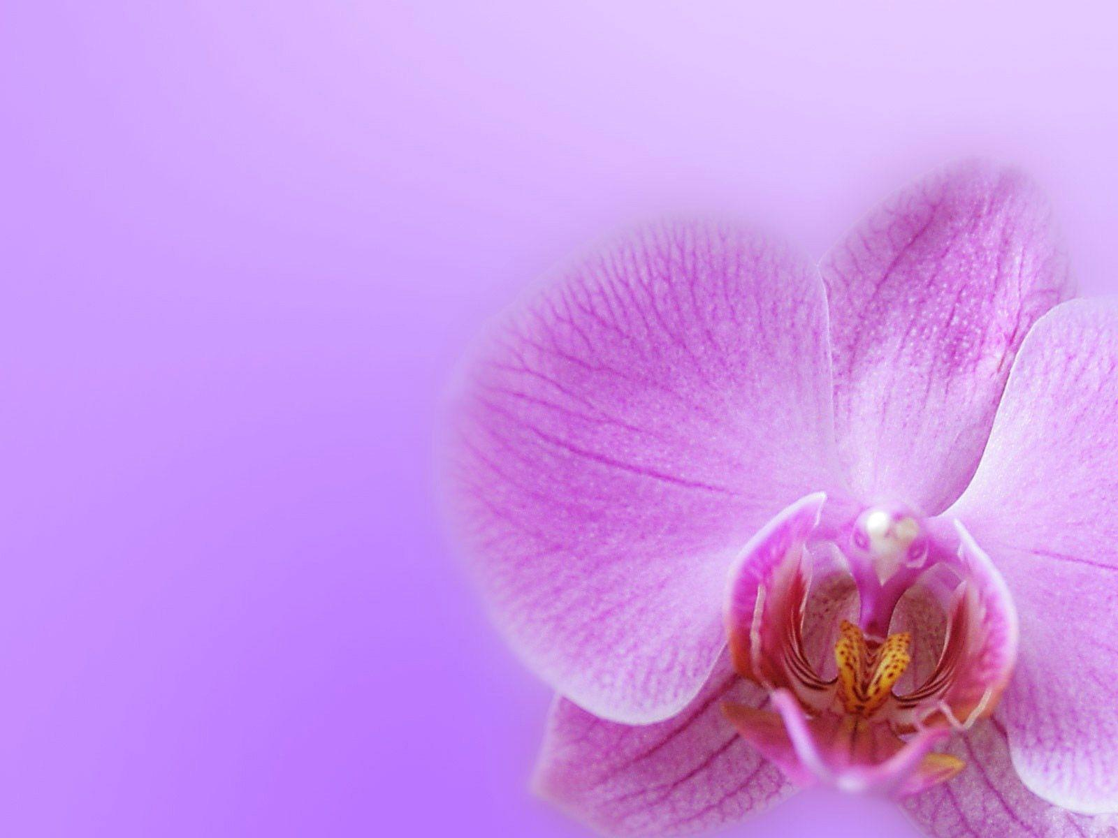 Free wallpapers for your computer - Desktop Wallpaper Gallery Windows 7 Orchid Backgrounds For