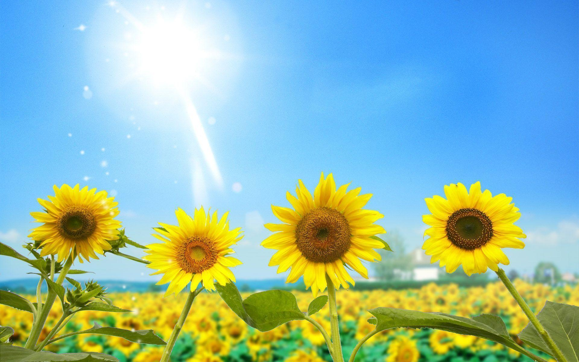 Sunflower Wallpaper Free Download 12583 Full HD Wallpaper Desktop .