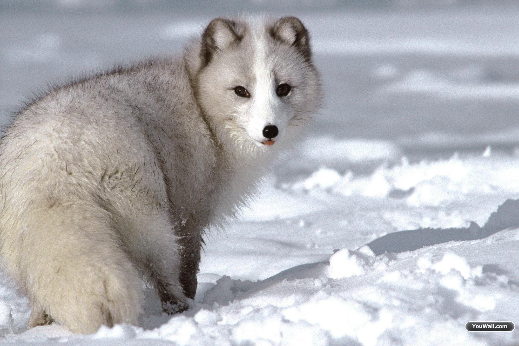 Baby Wolf Wallpapers Wallpaper Cave