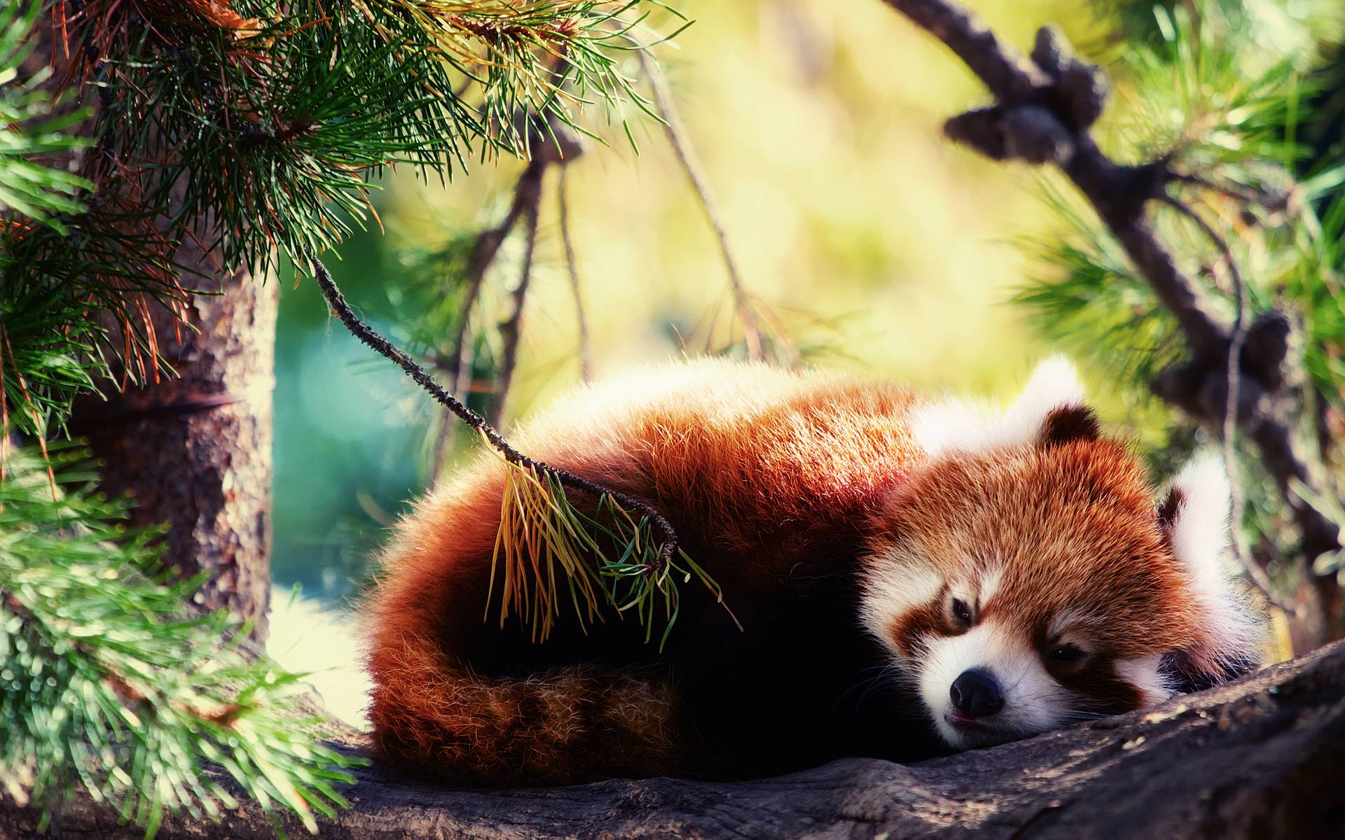 Red Panda Wallpapers - Wallpaper Cave