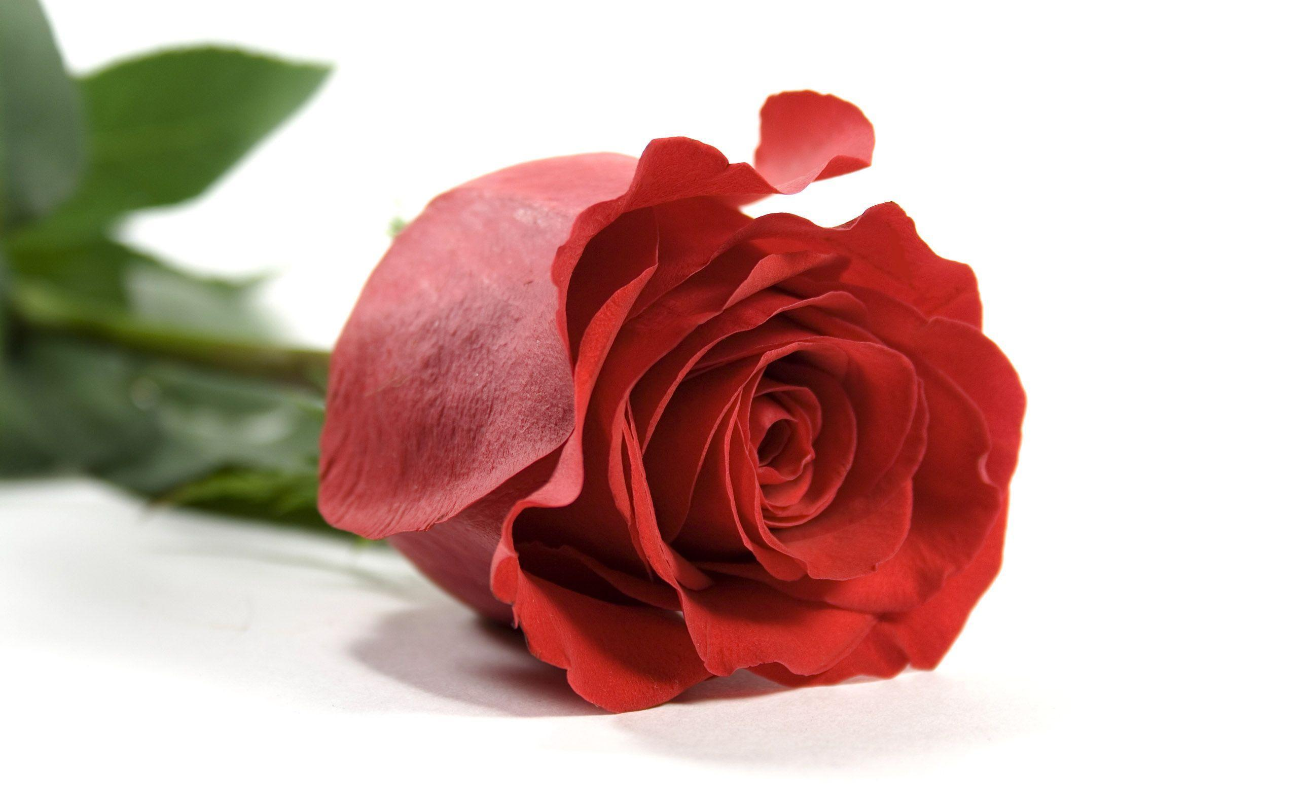 Rose Wallpaper 5525 2560x1600 px ~ FreeWallSource.
