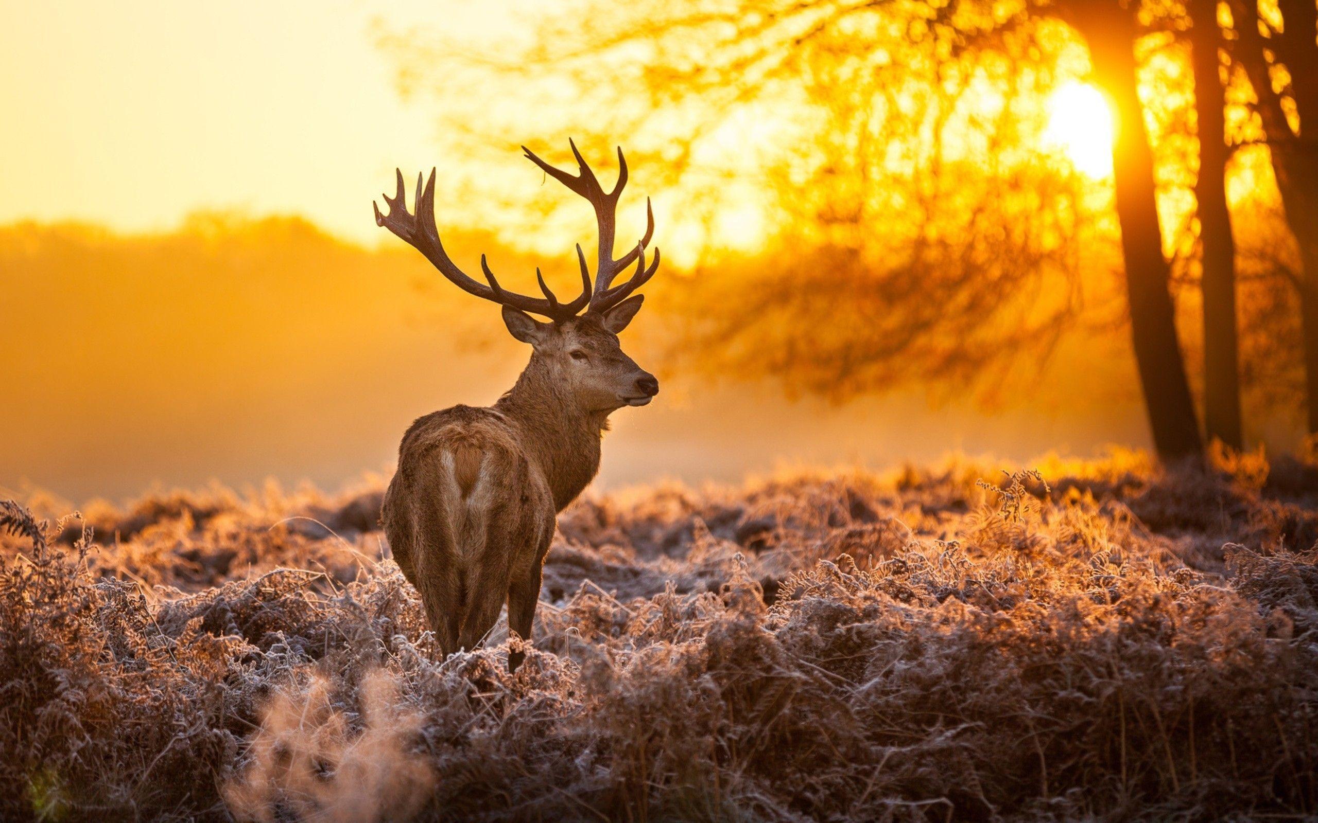 Deer Desktop Wallpapers Wallpaper Cave