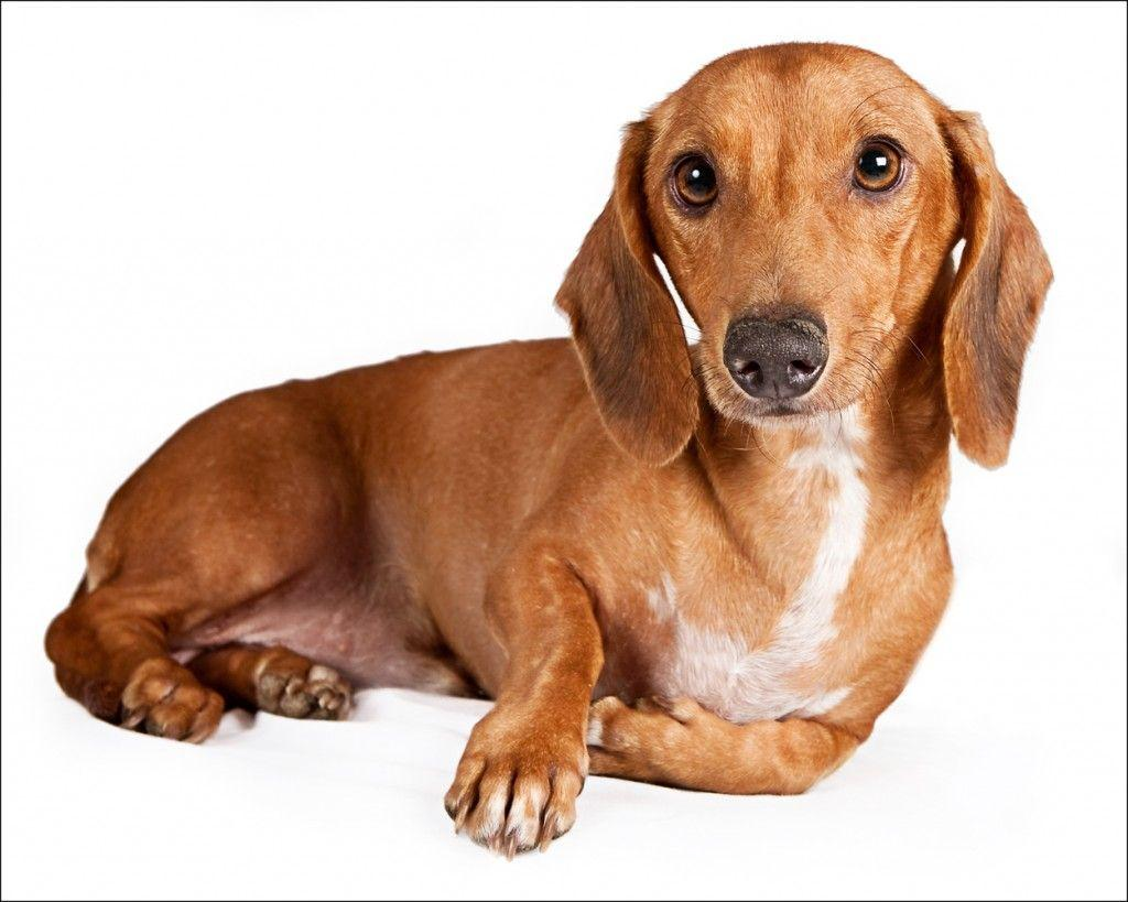 Beautiful Pictures Of A Wiener Dog