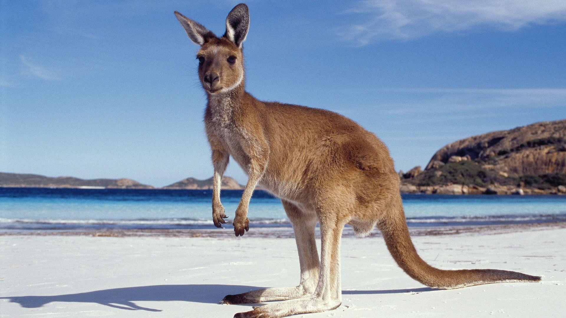 Kangaroo HD Wallpapers - HD Wallpapers Inn