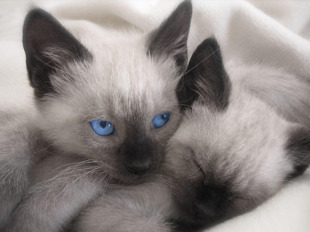 siamese cats wallpaper 3 - photo #7